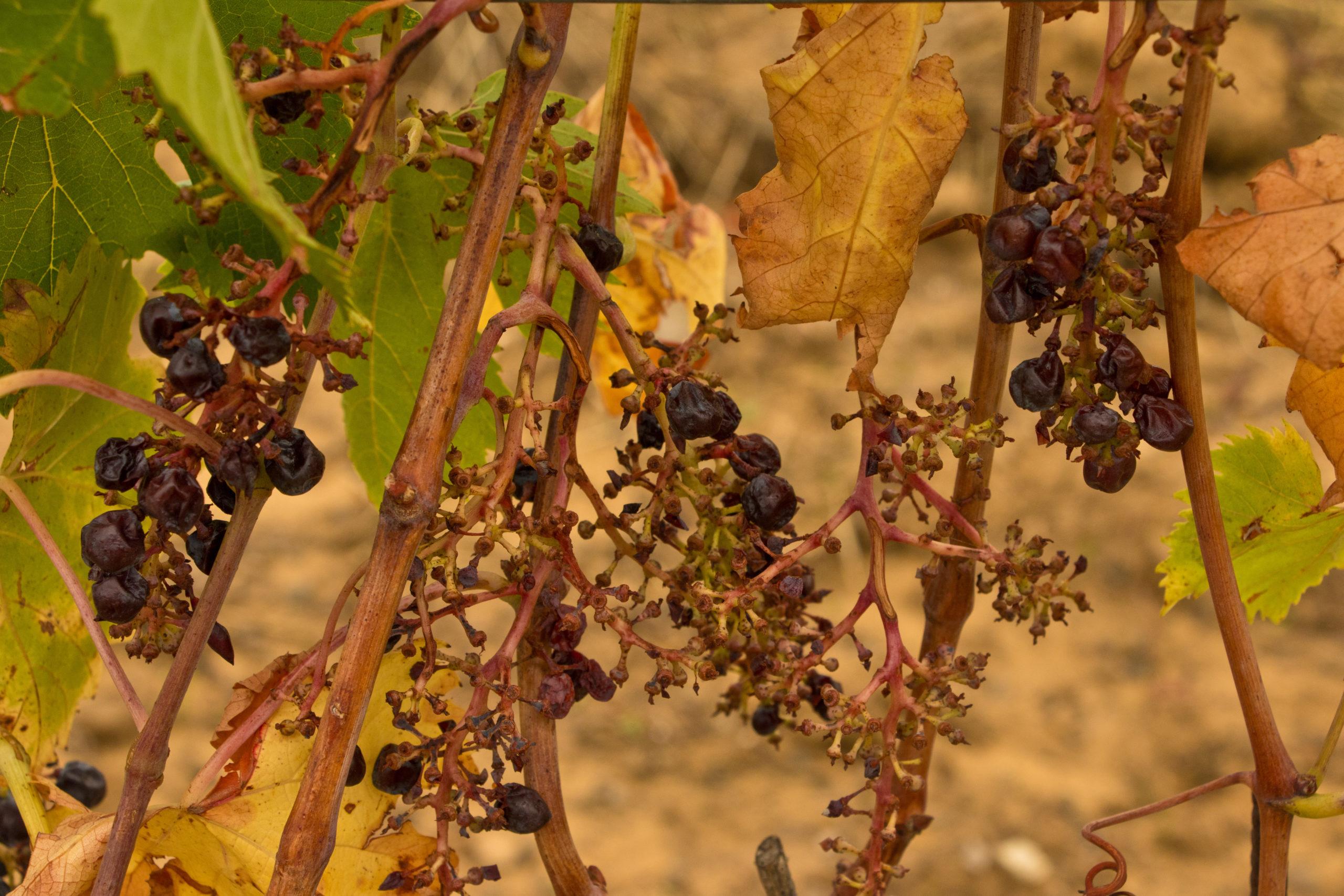 Como hacer frente al cambio climático en la industria vitivinícola